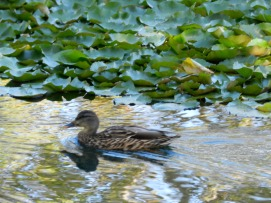 The Happy Duck